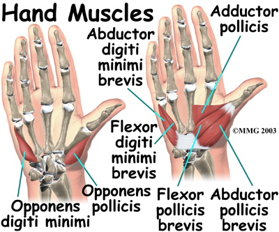 hand-muscles